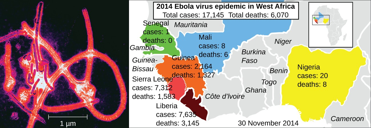 The electron micrograph shows linear viruses wrapped into a delta-shaped structure. The map shows 2014 Ebola epidemics in West Africa. There were 17,124 total cases and 6.070 total deaths. Senegal had 1 case and no deaths. Mali had 8 cases and 6 deaths. Guinea had 2, 164 cases and 11,326 deaths, Sierra Leone had 7,312 cases and 1,583 deaths, Liberia had 7,635 cases and 3,145 deaths. Nigeria had 20 cases and 8 deaths.