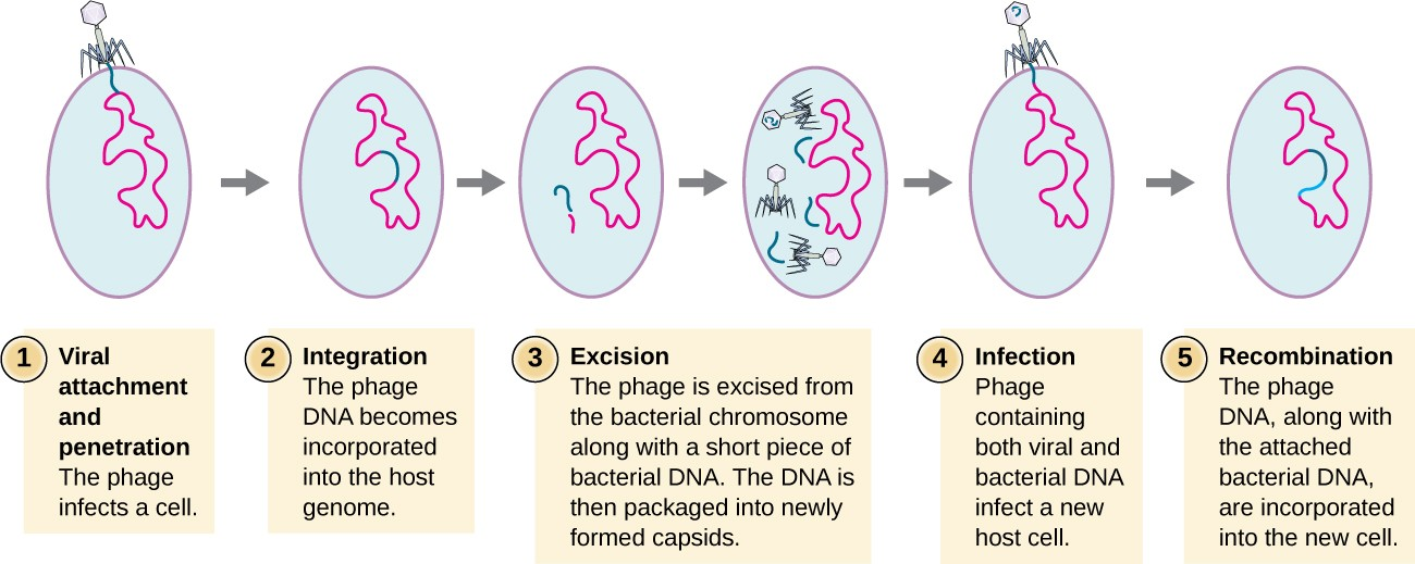 Mononucleosis virus reproduction asexual reproduction