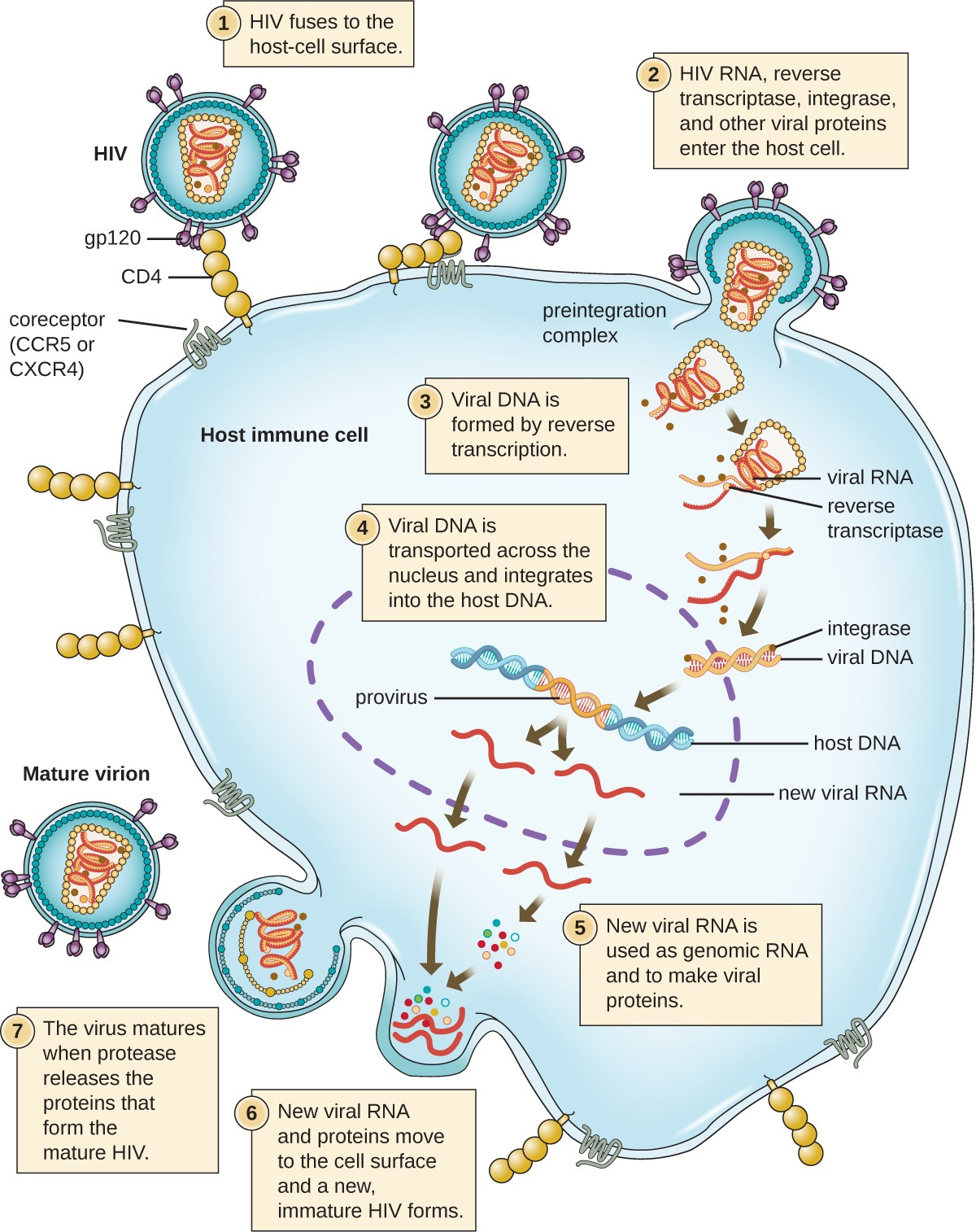 The Viral Life Cycle | Microbiology