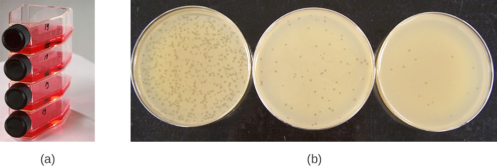 Figurea shows bottles laying on their side with red liquid; the bottles have screw-caps. Figureb shows 3 plates covered in bacterial growth (which is a smooth beige lawn). Each plate has small dots that are regions of no growth. Some plates have many of these plaques some have few.