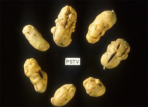 Photo of potatoes with odd, lumpy growths.