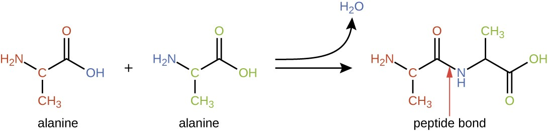 Alanine has a 3 carbon chain. The second carbon has NH2 attached and the third has a double bonded O. When 2 alanines bond, the OH from one and the H from the NH2 of the other form water. The resulting molecule is two alanines linked by an NH.