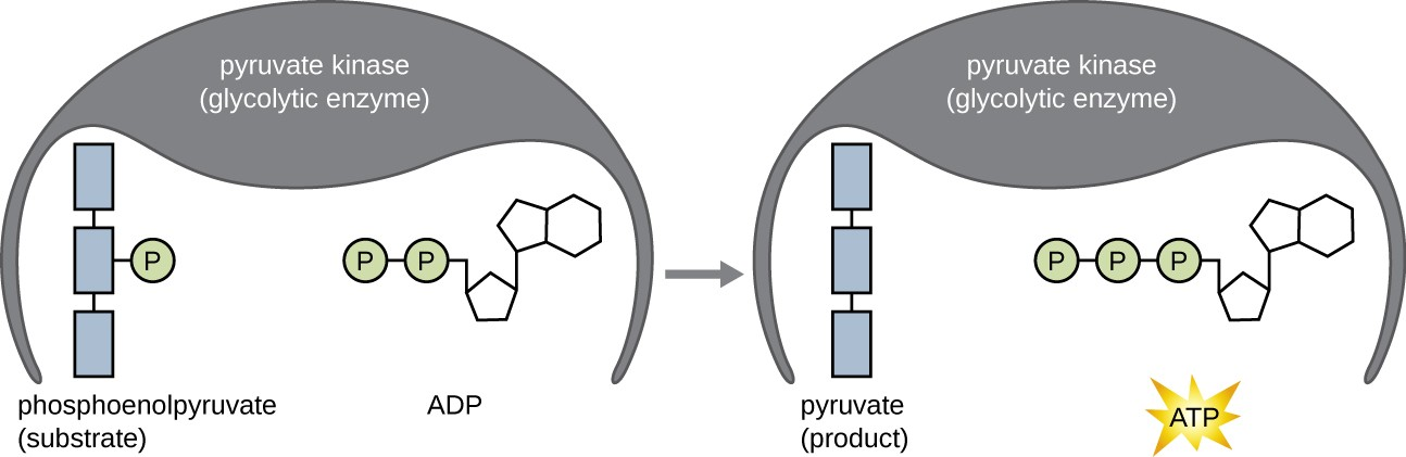 An enzyme has 2 substrates bound: ATP and another substrate. One of the phosphates from ATP is transferred to the other substrate.