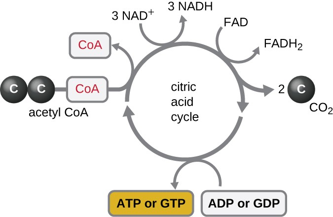 The citric acid cycle is drawn as a circle with arrows around the outside showing what enters and exits the cycle. 3 NAD+ are converted to 3 NADH, 1 FAD is converted to 1 FADH2, 2 CO2 leave the cycle, ADP or GDP are converted to ATP or GTP. Acetyl-CoA enters and CoA leaves (leaving the 2 carbons as part of the cycle.