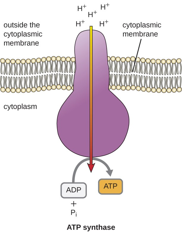 ATP synthase is an enzyme that spans the cytoplasmic membrane. H+ flow in through this protein from the outside of the cytoplasmic membrane into the cytoplasm. On the inner side of the protein, this flow of H+ is used to build ATP from ADP and Pi.