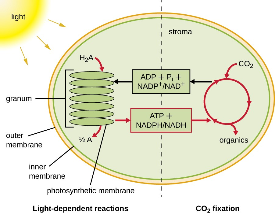 Photosynthesis Microbiology