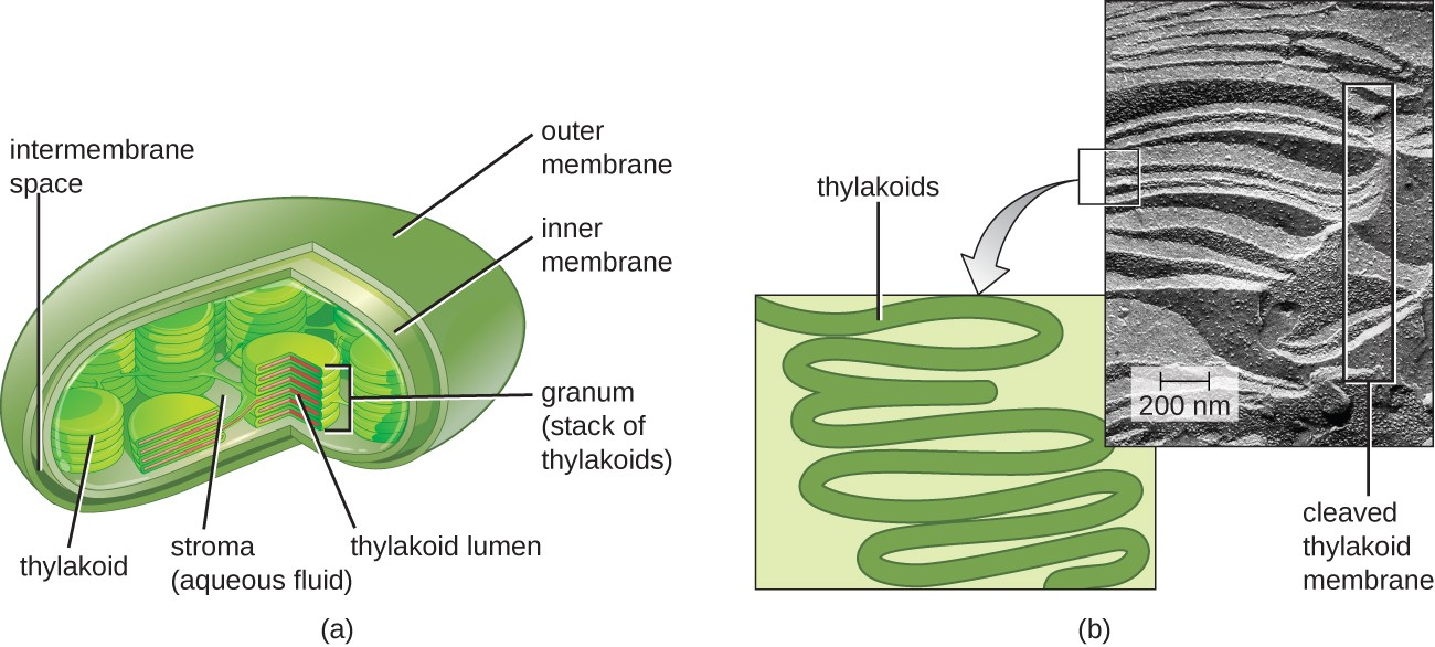 a) Drawing of a chloroplast, which is a bean shaped structure with an outer membrane and an inner membrane. Between these is the intermembrane space. Inside the inner membrane is an aqueous fluid called stroma and membranes (thylakoids) that form stacks called (grana). The thylakoids form disks with an inner thylakoid lumen. B) Micrograph and drawing of thyladoids which look like folded material. One of the thylakoid membranes is cleaved.