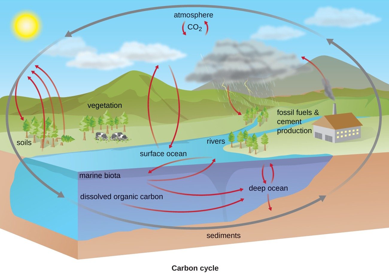 Biogeochemical cycles microbiology the carbon cycle co2 from the atmosphere moves into plants soils surface ocean ccuart Choice Image