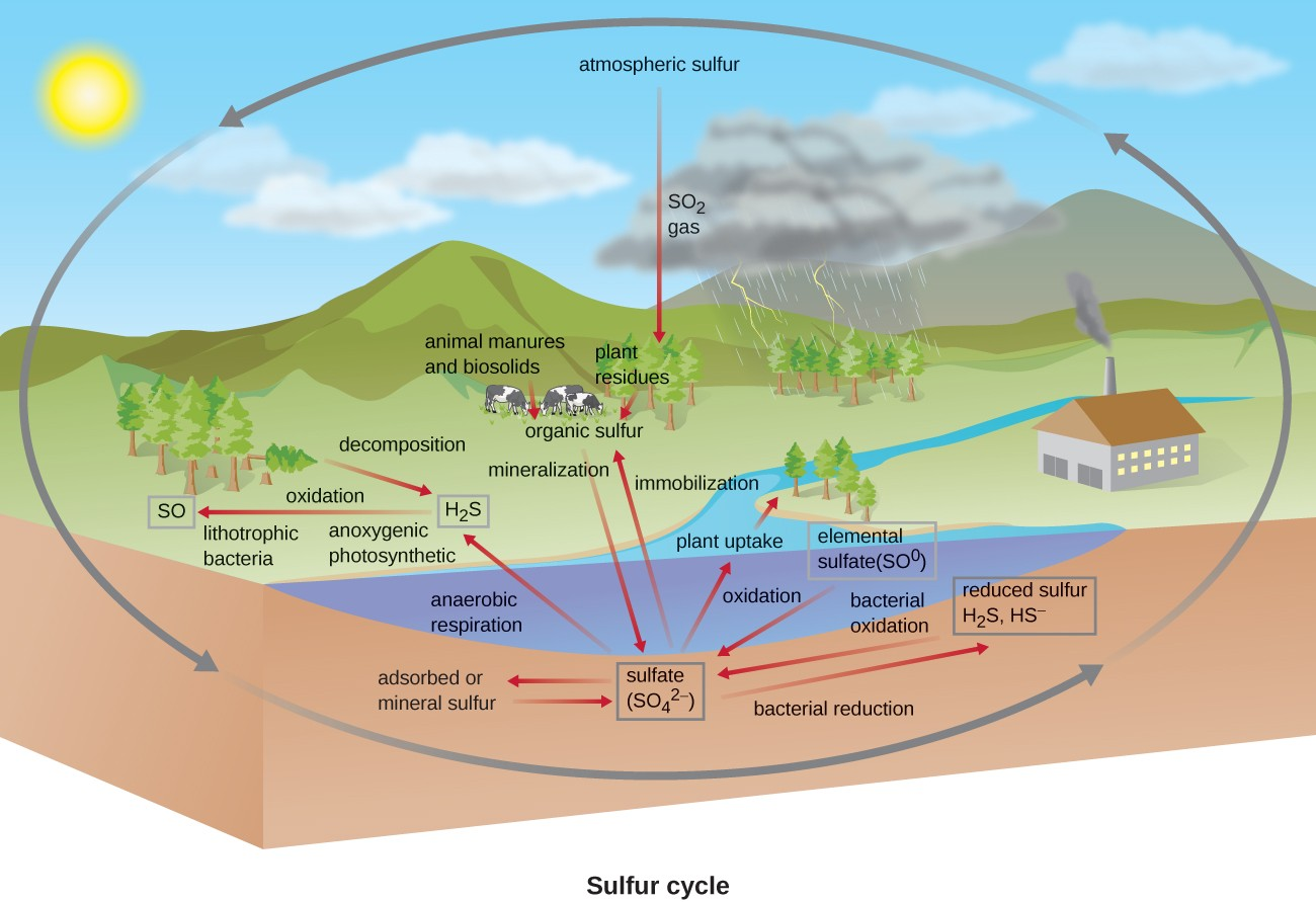 Sulfur cycle. Atmospheric sulfur (SO2 gas) is taken in by plants. Plant residues and animal manures and biosolids produce organic sulfur. Mineralization produces sulfate (SO42-). Immobilization reverts sulfate back to organic sulfur. Sulfate is converted to H2S via anaerobic respiration. Decomposition also produces H2S. Sulfate can be absorbed or converted to mineral sulfur. Bacterial reduction converts sulfate to reduced sulfur (H2S, HS). Oxidation converts reduced sulfur and elemental sulfur (SO0) to sulfate.