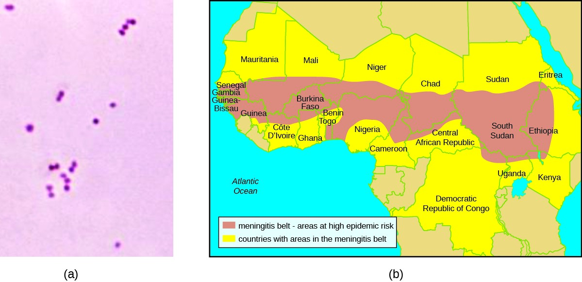 a) Micrograph of small pink circles. B) Map of Africa showing the Meningitis Belt (areas of high epidemic risk) running from Senegal on the east to Ethiopia on the West and spanning 2 countries from north to south. There are 24 Countries with areas in the Meningitis belt.