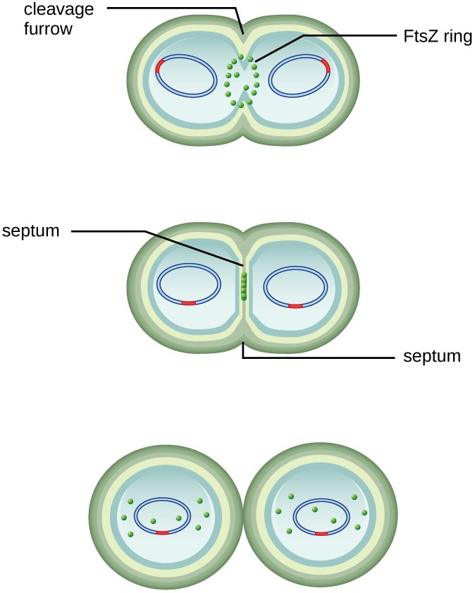 A diagram of a cell dividing. The cell is shaped like a figure 8; each end of the cell contains a loop a DNA. The constriction point of the figure 8 is labeled cleavage furrow. A ring of dots in this region is labeled FtsZ ring. Next these dots line up along the constriction point as the constriction point completely separates the two halves of the cell. This region is now called the septum. Finally the two cells separate completely.
