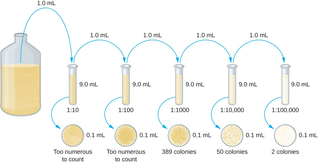 A diagram of serial dilution. A large beaker on the left contains a dark solution. 1 ml is moved from this beaker to a tube containing 9 ml of broth. This tube has a dilution of 1:10 and is lighter in color than the original beaker. A sample of 0.1 ml from this tube is put on an agar plate; the colonies are too numerous to count. 1 ml is taken out of this tube and placed in a tube containing 9 ml of broth. This tube now has a dilution of 1:100 from the original beaker and is even lighter in color. 0.1 ml is plated on an a agar plate and the colonies are still too numerous to count. 1 ml is taken from this tube and placed in another tube containing 9 ml broth. This is now a dilution of 1:1000 from the original beaker and the tube is lighter than the last. 0.1 ml is taken out of this tube and placed on an agar plate; there are 389 colonies. 1 ml is taken out of this tube and placed in another tube containing 9 ml broth. This is now a dilution of 1:10,000 from the original beaker and this tube is even lighter than the last. 0.1 ml is taken out of this tube and placed on an agar plate; there are 50 colonies. 1 ml is taken out of this tube and placed in a tube containing 9 ml of broth. This is a dilution of 1:100,000 from the original beaker and this is the lightest tube of all. 0.1 ml is taken from this tube and placed on an agar plate; there are 2 colonies.