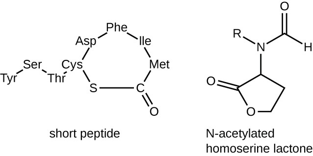 The short peptide has the following amino acids in a chain: tyr, ser, thr, cys, asp, phe, ile, met. Attached to the cys is an S, attached to the S is a C which also attaches to the met. The C also has a double bonded O. The N-acetylated homoserine lactone has a pentagon with an O on the bottom left corner and a double bonded O attached to the left corner. The top corner is attached to an N which is attached to an R and a C. The C is double bonded to an O and also has an H.
