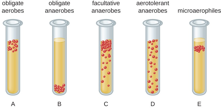 A diagram of bacterial distribution in tubes. Tube A shows obligate aerobes which grow at the top of the tube. Tube B shows obligate anaerobes which grow at the bottom of the tube. Tube C shows facultative anaerobes which grow best at the top but also grow throughout the tube. Tube D shows aerotolerant anaerobes which grow equally well throughout. Tube E shows microaerophiles which grow just below the top of the tube.