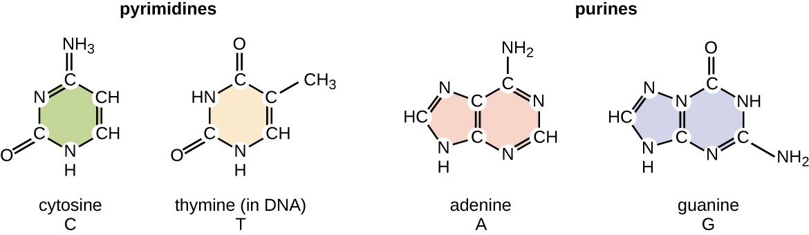 Pyrimidines have 1 ring containing both carbon and nitrogen in the ring. Cytosine and thymine are both pyrimidines. Their rings are the same but have different functional groups attached. Purines have 2 rings containing carbon and nitrogen. Adenine and Guanine are both purines but have different arrangement of atoms as part of and attached to their rings.