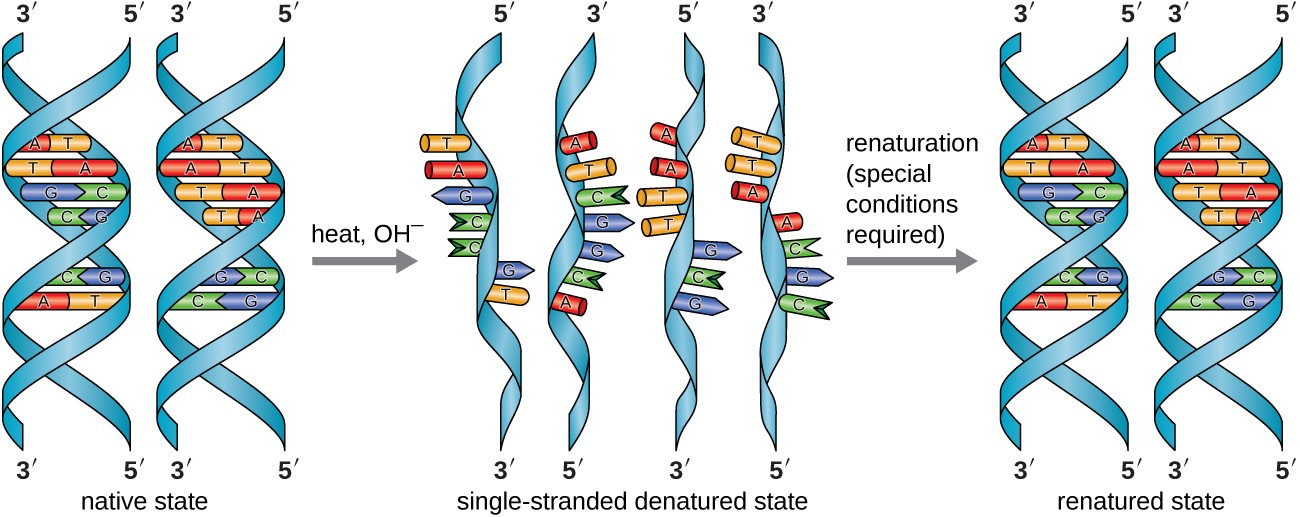 Native states are like a twisted ladder. The rungs of the ladder are made from a base of one strand attached to the base of the other strand. Heat and chemicals can denature these strands. When this happens, the DNA is single stranded – it is a long ribbon with short projections along its length. Renaturation, which requires special conditions, returns the DNA to the double helix state (renatured state).