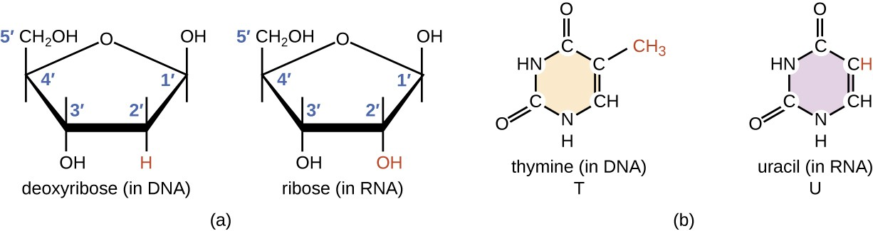 a) diagrams of ribose (in RNA) and deoxyribose (in DNA). Both have a pentagon shape with Oxygen at the top point of the pentagon. Both have an OH at carbon 1 and 3 and a CH2OH at carbon 4 (this last carbon is carbon 5). The difference is that ribose has an OH at carbon 2 and deoxyribose has an H at carbon 2. B) diagrams of thymine (T in DNA) and Uracil (U in RNA). Both have a single hexagon ring containing carbons and nitrogens. Both have a double bound O at the top carbon, and the bottom left carbon. The difference is that the top right carbon has an H in uracil and a CH3 in thymine.