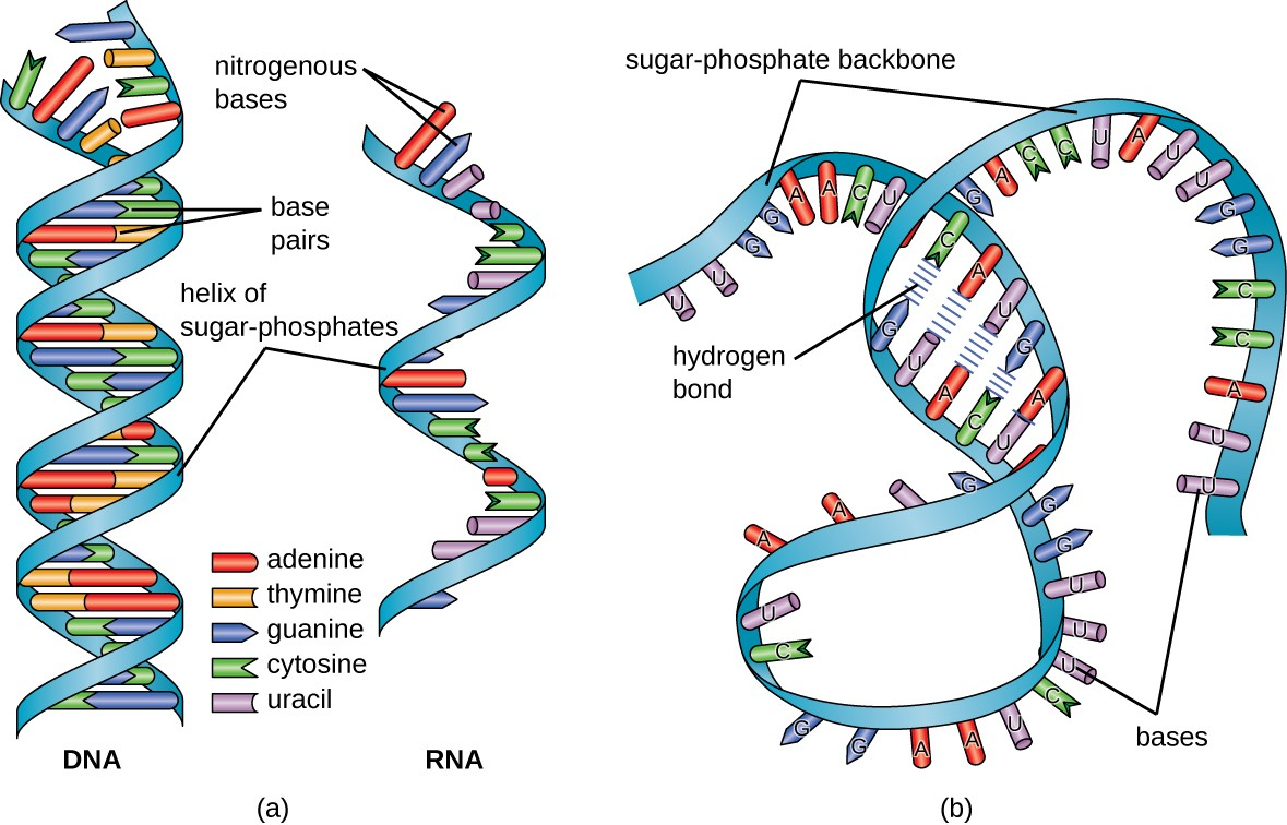 Structure And Function Of Rna Microbiology Cell Diagram Labeled Similarities Between Prokaryotic Eukaryotic A Dna Has The Double Helix Shape With