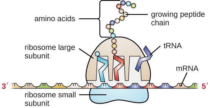 A diagram showing mRNA as a long strand with sets of 3 letters grouped; the left of the mRNA is labeled 3-prime, the right is labeled 5-prime. An oval labeled ribosome small subunit sits under the mRNA and spans 3 of the 3-letter groups. A larger dome (labeled ribosome large subunit) sits on top of the mRNA at this same region. The large subunit has 3 gaps where rectangles labeled tRNA sit. These rectangles each sit on a group of 3-letters on the mRNA at one end and contain an amino acid on the other end. The tRNA on the left has a single amino acid. The tRNA in the middle has a growing pepetide chain of many amino acids. The tRNA on the right as no amino acids and is leaving the ribosome.