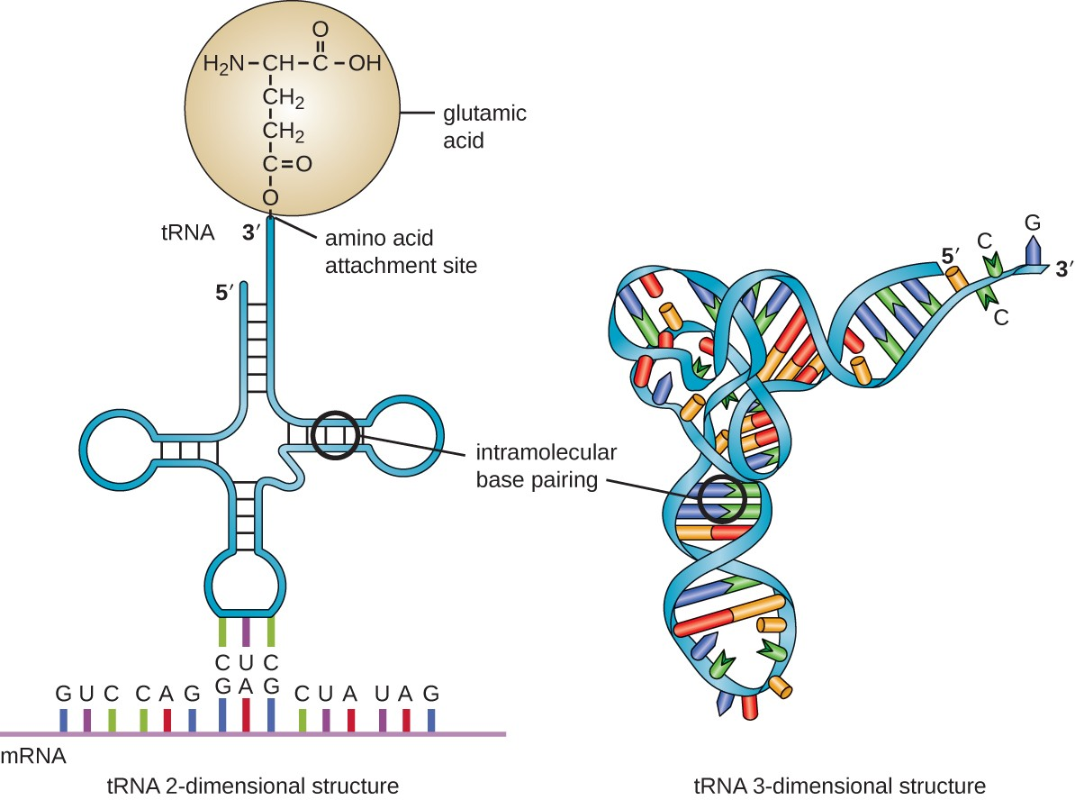 structure and function of rna | microbiology amino acids rna diagram