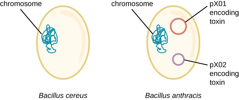 Bacilli Diagram Of Cell Diy Enthusiasts Wiring Diagrams