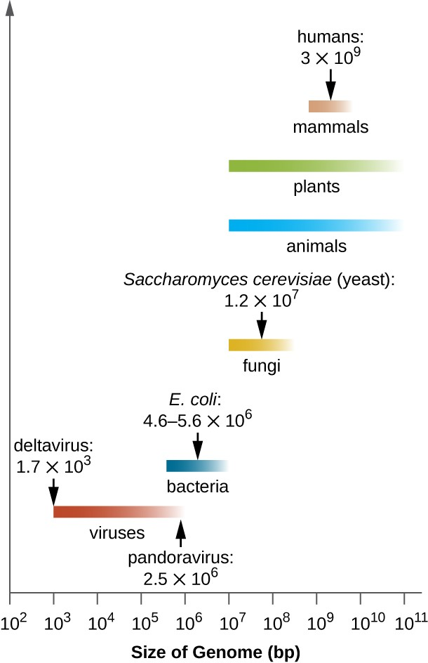 A graph showing genome sizes. Viruses have genomes that range from 1.7x10 to the 2nd bp to 2.5x10 to the 6th bp. Bacteria have genomes that range in size from 10 to the 5th to 10 to the 7th. One example is E. coli which ranges from 4.6 to 5.6 x 10 to the 6th bp. Fungi have genomes that range from 10 to the 6th to 10 to the 8th bp. Saccharomyces cerevisiae (yeast) has a genome of 1.2 x 10 to the 7th bp. Plants and animals have genomes that range from 10 to the 6th to 10 to the 11th bp. Mammals range from 10 to the 9th to 10 to the 10th bp. Humans have a genome of 3 x 10 to the 9th.