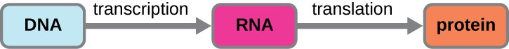 Diagram showing DNA with an arrow (labeled transcription) pointing to RNA. An arrow from RNA to proteins is labeled translation.