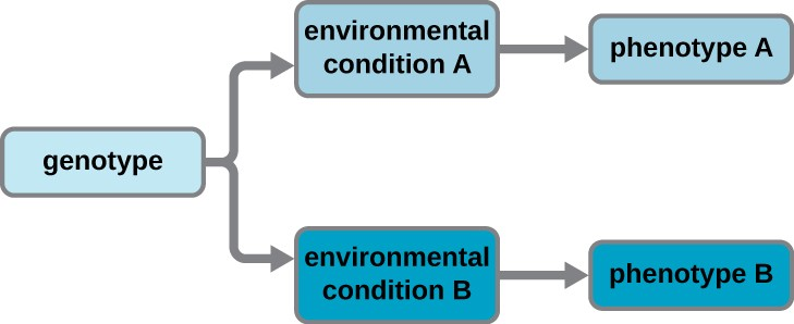 A diagram starting with genotype. An arrow from genotype splits to point to environmental condition A and environmental condition B. An arrow from environmental condition A points to phenotype A. An arrow from environmental condition B points to phenotype B.