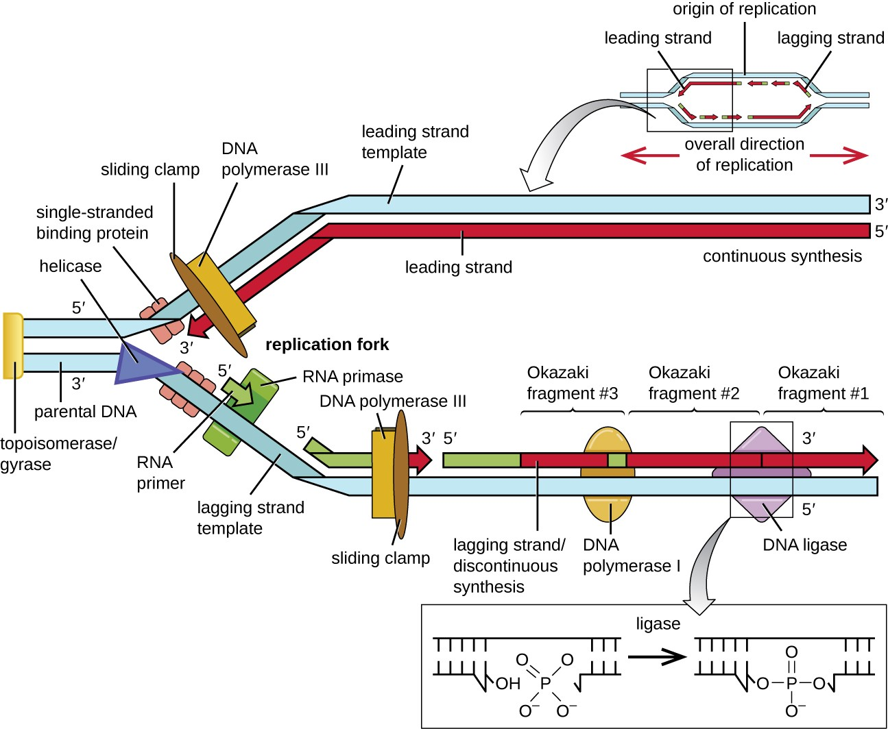Dna Replication Diagram DNA Replication | Micr...