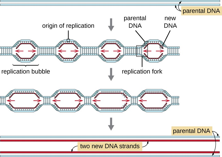 A diagram showing two strands of parental DNA. Then an arrow showing multiple replication bubbles with an origin of replication in each. Arrows point to the left and right from each origin of replication. New strands of DNA are shown being formed. One of the bubbles has the left half of the bubble in a box labeled replication fork. The next image shows the replication bubbles getting longer. The final image shows two new DNA strands, each with one old strand and one new strand.