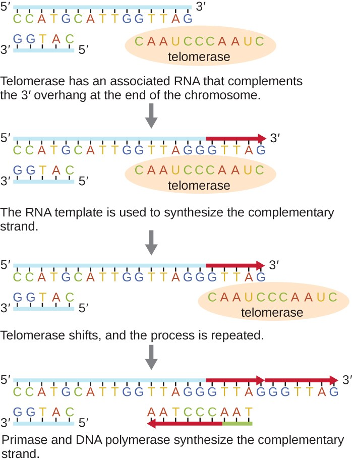 Diagram of telomerase. The top image shows a long strand of DNA with 5′ on the left and 3′ on the right. The complementary strand is much shorter and shows 3′ on the left and 5′ on the right. A circle labeled telomerase contains a complementary strand that matches the 3′ end of the upper strand and also extends past the 3′ end of the top strand. Caption: Telomerase has an associated RNA that complements the 3′ overhang at the end of the chromosome. Next, the top strand of DNA replicates using the overhang of the strand within the telomerase. Caption: The RNA template is used to synthesize the complementary strand. Next, the telomerase moves to the new 3′ end of the top strand. Caption: Telomerase shifts and the process repeats. Finally, The top DNA strand has multiple extensions. RNA primer binds near the 3′ end and builds a new strand of DNA towards the left until it meets up with the existing strand. Caption: Primase and DNA polymerase synthesize the complementary strand.