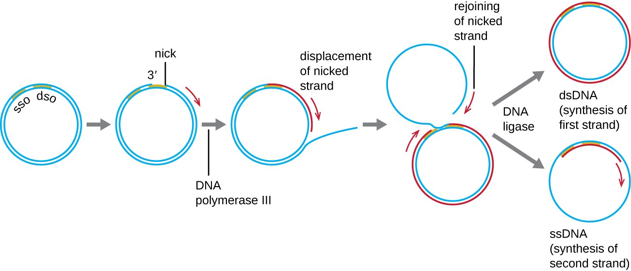 Dna replication microbiology diagram of dna replication a circle of double stranded dna has a region labeled sso ccuart