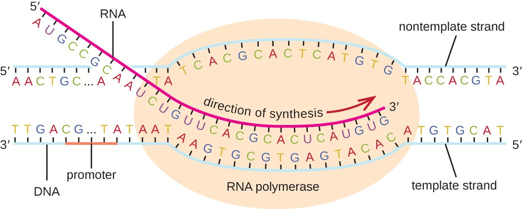 Rna transcription microbiology diagram of transcription a double stranded piece of dna has a large oval labeled rna ccuart Gallery