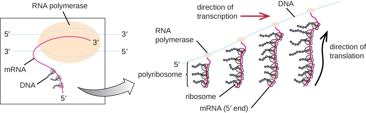 Diagram showing a double strand of DNA with RNA polymerase and a newly forming RNA strand. As the RNA elongates ribosomes bind and begin forming proteins. As the RNA gets longer, more and more ribosomes are bound in a row; this is called a polyribosome.