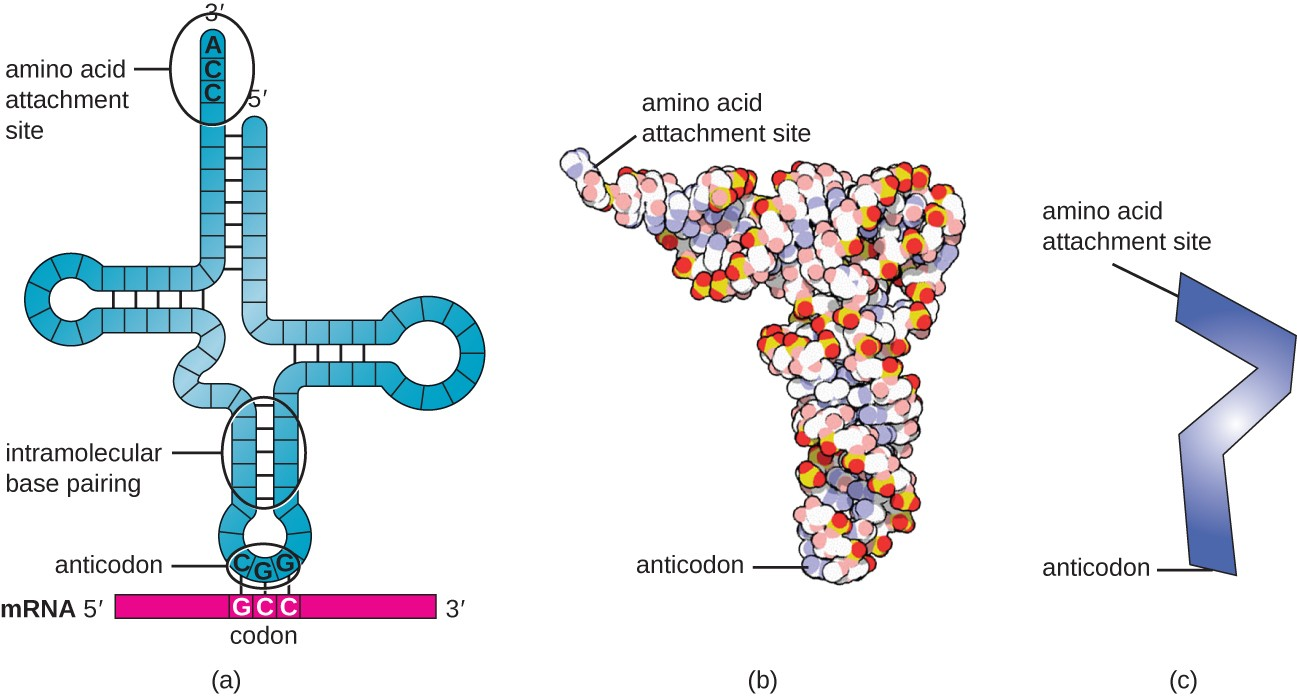 Three different drawings of tRNA. A) shows a single strand folded into a cross shape with intramolecular base pairing. The 3′ end at the top is labeled amino acid attachment site and has the sequence ACC. The 5′ end is also at the top. At the base of the cross is a three letter grouping called anticodon. This is complementary to a three letter set on the mRNA called a codon. B) shows a space filling 3-D model that is shaped like an L. One end is the amino acid attachment site and the other is the anticodon. C) is a ver simplified drawing shaped like zigzag; one end is the amino acid attachment site and the other is the anticodon.