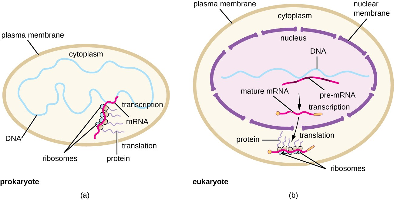 a) diagram of prokaryotic cell with a plasma membrane on the outside  the  dna