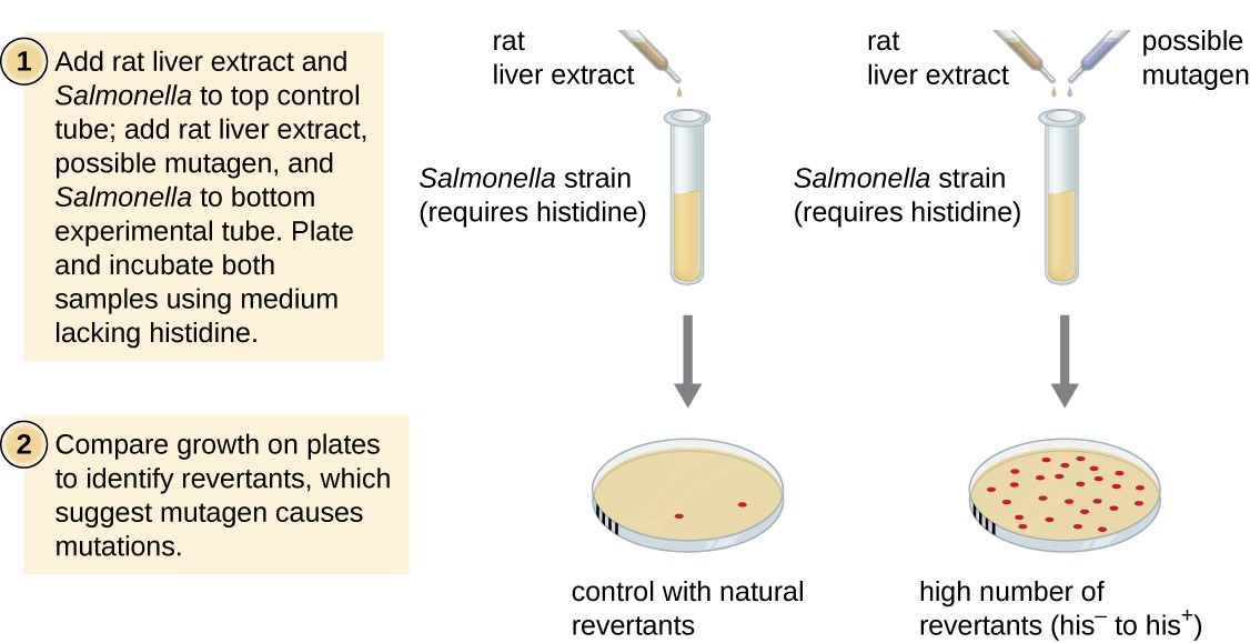 Diagram of the Ames test. 1 – Add rat liver extract and Salmonella to control tube. Add rat liver extract, possible mutagen, and Salmonella to experimental tube. The Salmonella strain in this test requires histidine. 2 – Plant and incubate both samples using medium lacking histidine. 3 – Compare growth on plates to identify revertants, which suggest mutagen causes mutations. In the image the plate without the possible mutagen has a few colonies (control with natural revertants). The plate from the sample with the possible mutagen has many colonies (high number of revertants his- to his+).