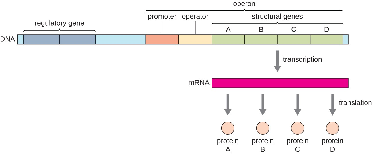 Trp Operon Diagram