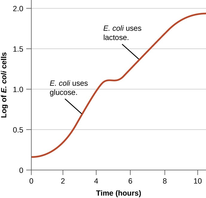 Graph with time (hours) on the X axis and Log of E. coli cells on the Y axis. For the first hour the graph is relatively flat but then becomes quite steep for the next 3 hours. The graph increases from 0.3 to 1 in 3 hours. This part of the graph is labeled E. coli uses glucose. The next part of the graph begins with another flat region of about an hout and then there is another increase. This increase goes from 1.2 to 1.9 in 4 hours. This part of the graph is labeled E. coli uses lactose.