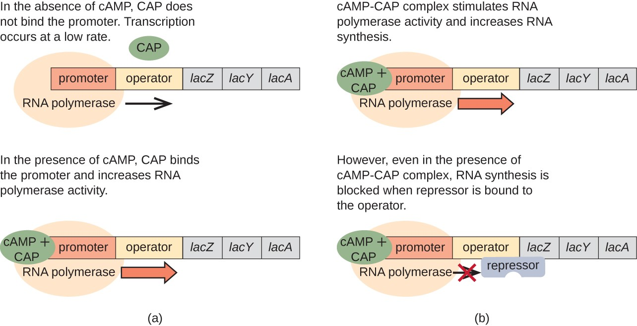 Diagram of the lac operon with and without cAMP. A) In the absence of cAMP, CAP does not bind the promoter. RNA polymerase does bind to the promoter and transcription occurs at a low rate. In the presence of cAMP, CAP binds the promoter and increases RNA polymerase activity. This is shown with a circle labeled cAMP + CAP bound to the promoter. RNA polymerase is also bound to the promoter and a thick arrow indicates faster transcription. B) cAMO-CAP complex stimulates RNA polymerase activity and increases RNA synthesis. However, even in the presence of cAMP-CAP complex, RNA synthesis is blocked when repressor is bound ot he operator. This is shows as the cAMP + CAP circle as well as the RNA polymerase bound to the promoter. The repressor is bound to the operator and this blocks RNA polymerase from moving forward.