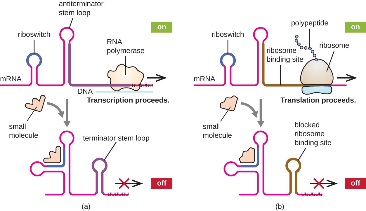 dna to mrna to protein example