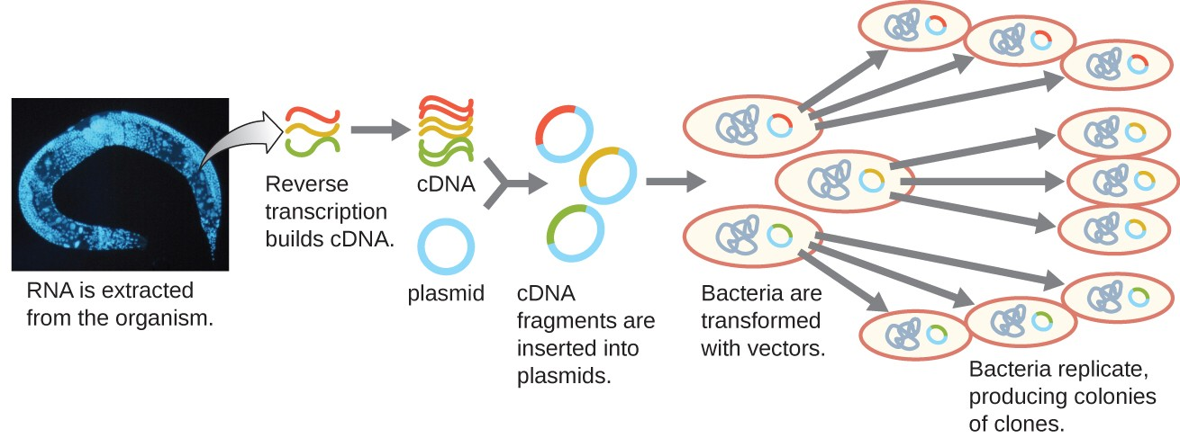 A diagram showing the generation of a cDNA library. The diagram begins with RNA being extracted from the organism (in this case a worm). Reverse transcription is then used to convert the RNA into cDNA The cDNA fragments are then each inserted into a different plasmid. This produces many fragments each with a different insert from the genome. Bacteria are then transformed with these vectors. Each bacterium replicates producing colonies of clones each containing a single cDNA fragment from the original organism.