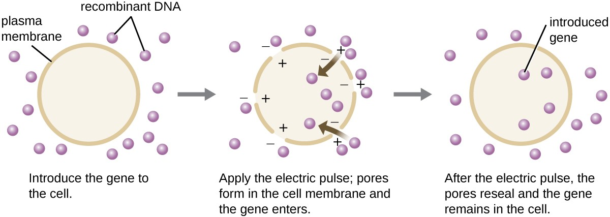A diagram showing electroporation. The first panel reads: introduce the gene into the cell. A cell with a distinct plasma membrane is shown and recombinant DNA is on the outside. The next panel reads: apply the electric pulse; pores form in the cell membrane and the gene enters. The image shows holes in the plasma membrane. Positive charges are inside the holes and negative charges are on the outside. Recombinant DNA pieces move into the cell. The final panel reads: after the electric pulse, the pores reseal and the gene remains in the cell. The diagram shows a continuous plasma membrane again and recombinant DNA both inside and outside the cell. The recombinant DNA inside the cell is labeled