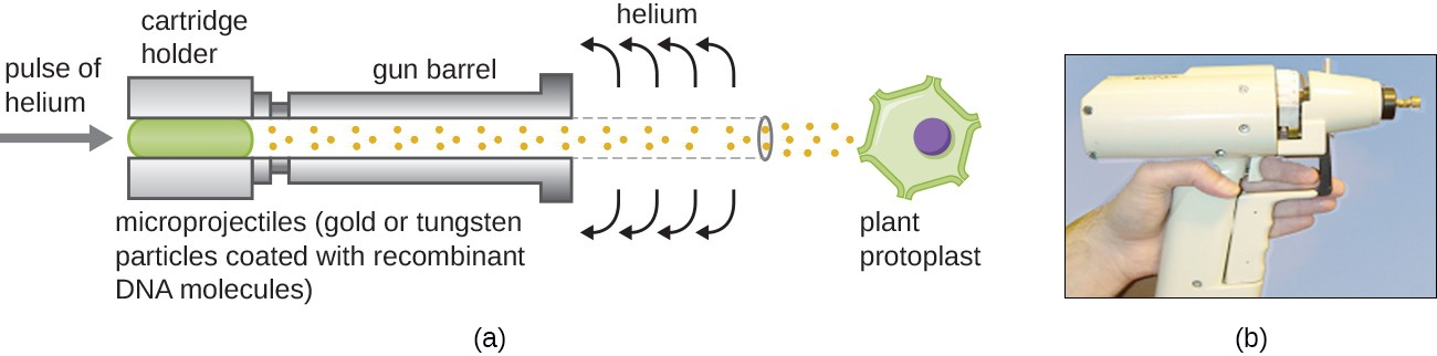 a) a diagram of a gene gun. The gun barrel points towards a plant protoplast. A pulse of helium pushes microprojections (gold or tungsten particles coated with recombinant DNA molecules) through the barrel and into the plant cell. b) a photograph of a gene gun; it is the size and shape of a hair-dryer but with a much narrower opening.