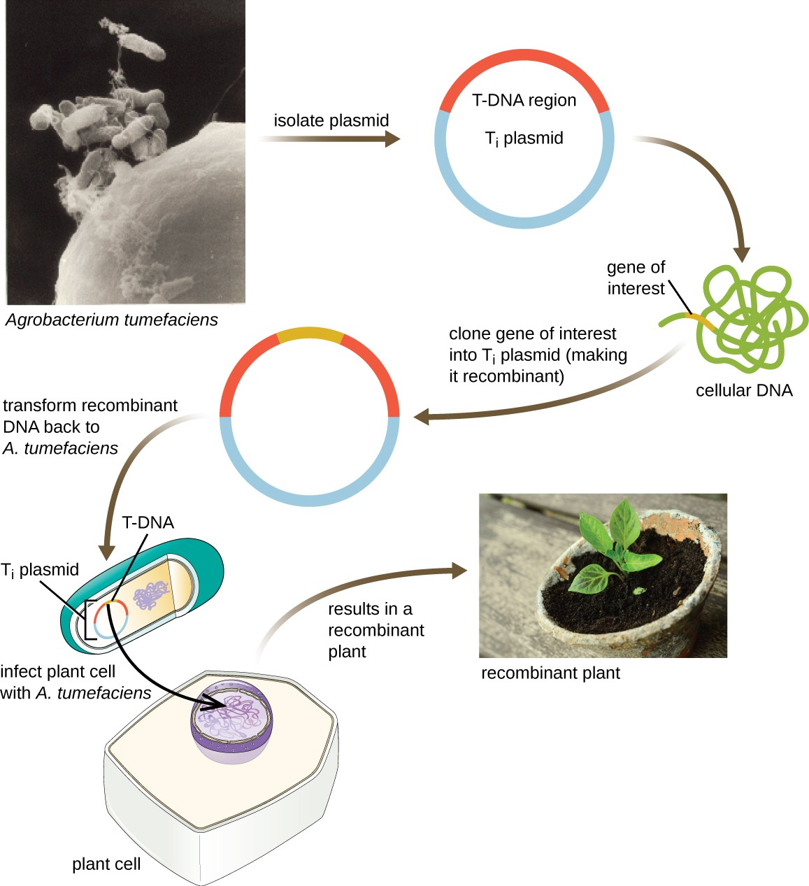 Microbes And The Tools Of Genetic Engineering