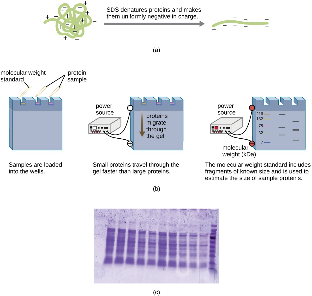 a) A diagram showing a globular protein with positive and negative charges undergoing SDS treatment. SDS denatures the protein (producing a linear product) and makes them uniformly negative in charge. B) The protein samples are then placed into the wells of an SDS_PAGE gel. One well is loaded with a molecular weight standard. The gel is then exposed to a power source that results in the top of the gel (near the wells) becoming negative charged and the bottom becoming positively charged. Proteins migrate through the gel from the negative to the positive sides. Small proteins travel through the gel faster than large proteins. The molecular weight standard includes fragments of known size and is used to estimate the size of sample proteins. In this example the standard has sizes of 216, 132, 78, 32 and 7. The other lanes have bands of various sizes. C) A photograph of an SDS-PAGE gel. Purple bands on a clear background.