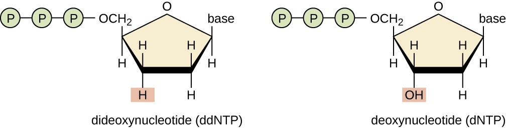 A drawing of dNTPs and ddNTPs. Deoxynucleotide (dNTP) is a nucleotide with an OH at carbon #3. This is drawn as a pentagon with an O at the top. Moving counterclockwise – the next point has the word