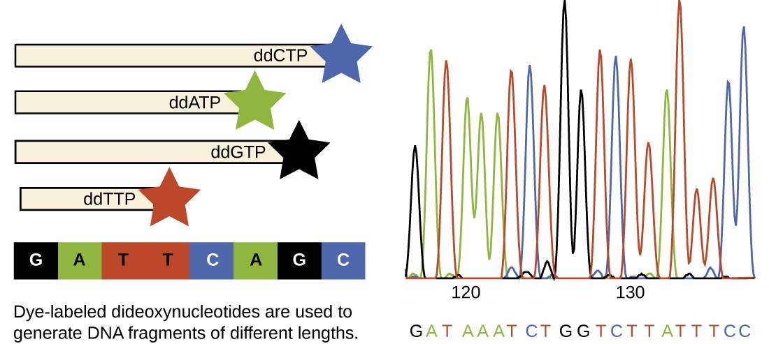 A diagram showing the Sanger method. A strand of DNA has the sequence GATTCAGC. Dye-labeled dideoxynucleotides are used to generate DNA fragments of different lengths. The shortest fragment ends with a red star to indicate that the ddTTP is what ended the chain. The next shortest fragment has a green star to indicate that a ddATP ended the chain. The next has a black star to indicate that a ddGTP ended the chain. The longest has a blue star to indicate that a ddCTP ended the chain. Not all of the fragments are shown in the diagram. To the right is a computer printout that does show all the fragments that would be seen in a sample. The computer printout shows a colored peak to indicate which fragment moved through the gel at that position. The first (shortest) position shows a black peak indicating a G, next is a green peak indicating an A, next is a red peak indicating a T, next are 3 green peaks indicating A's, etc.