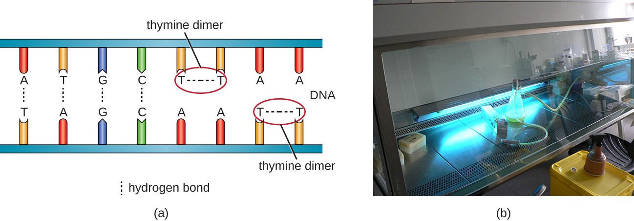 a) A double stranded segment of DNA showing the proper hydrogen bonds between A/T and C/G on either side of the double strand. However 2 T's on the same strand are bound to each other instead of the A's across from them. This bond between the 2 T's is labeled thymine dimer. B) a photo of a lab hood with blue light.