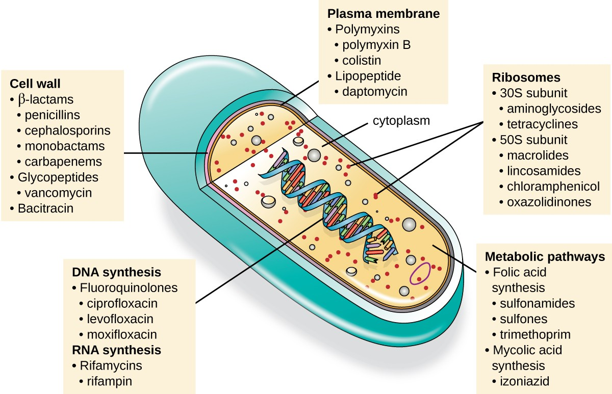Mechanisms Of Antibacterial Drugs Microbiology Prokaryotic Cell Diagram Chapter 11 Structure Cells Introduction To An Illustration A Is Shown With View Inside The Double Helix